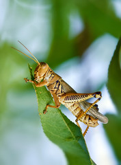 Grasshopper eating leaves from peach tree