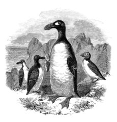Sea-Fowls : Pinguins & Macareux