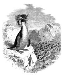 Macaroni Penguin -  Gorfou