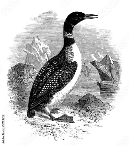 Sea-Fowl : Plongeon Imbrim