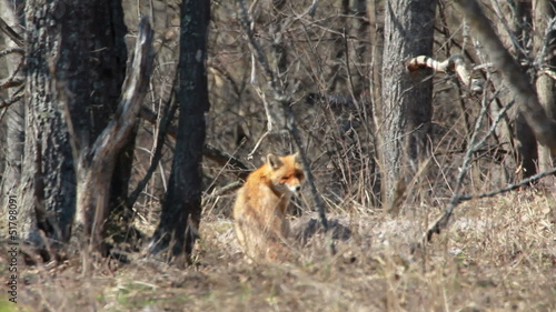 Red fox in the wildlife (Vulpes vulpes)