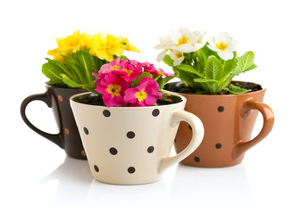 spring flowers with green leaves in pot isolated on white