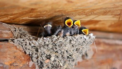 Swallow feeding baby birds