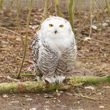 Snow owl with large claws