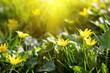 tender sunny yellow spring flowers