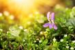 Cute delicate spring violet