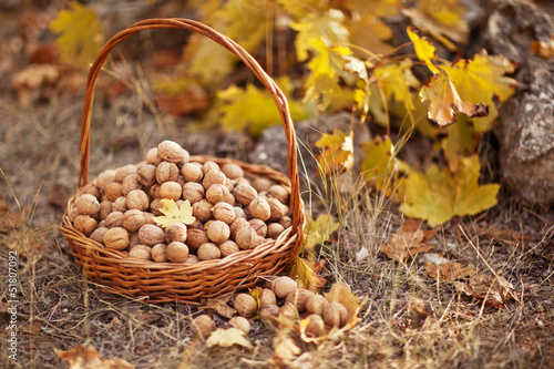 walnuts filbert in basket in the forest