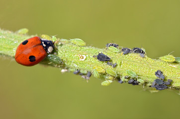 Macro of ladybug (Adalia bipunctata) eating aphids on stem