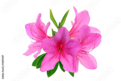 Papiers peints Azalea ツツジの花