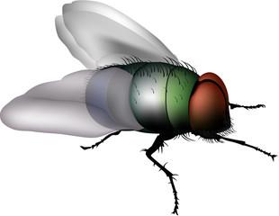 mosca comune