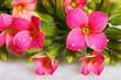 Gocce d'acqua su boccioli e fiori di Kalanchoe