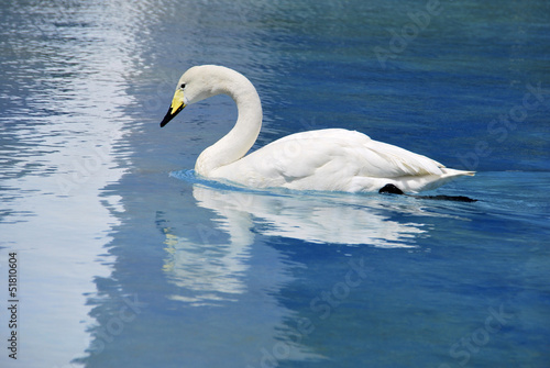 whooper swan aquatic bird