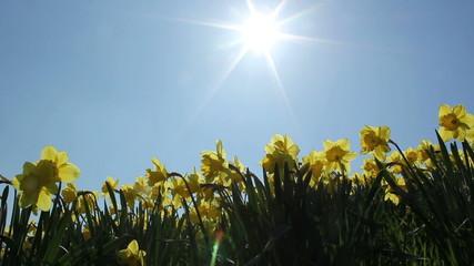 Narzissen in der Sonne