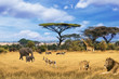 safari in Africa, collage