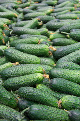Fresh cucumbers in the market.