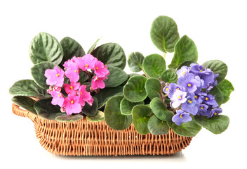 Bright saintpaulias in basket, isolated on white