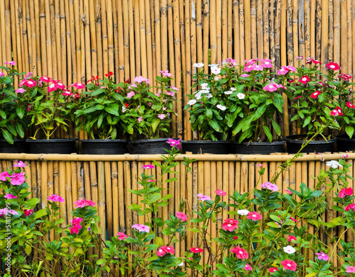 Catharanthus roseus in pots with bamboo background