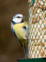 Bluetit with open beak sitting on a peanut feeder
