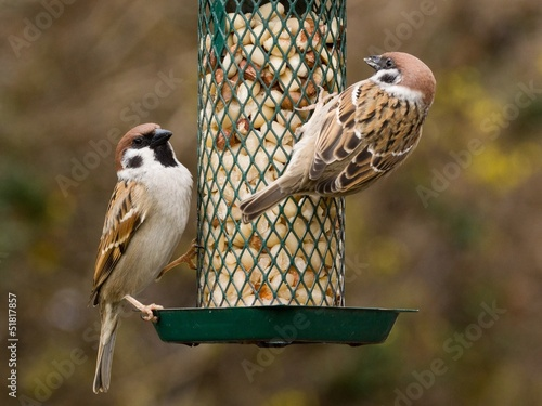 Tree Sparrows on a feeder with peanuts