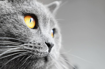 British shorthair cat detail (British Blue cat)