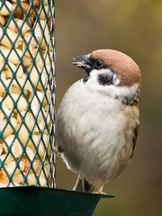 Photo of a eurasian tree sparrow on a feeder with peanuts