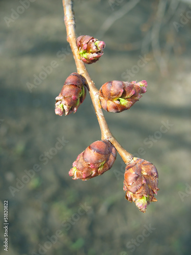 Spring. Elm twig with melting buds