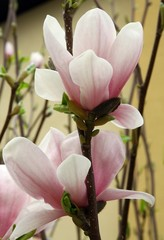 pink flowers of magnolia