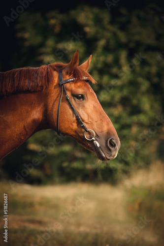 Horse portrait in summer
