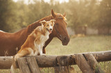 Red border collie dog and horse - 51827007
