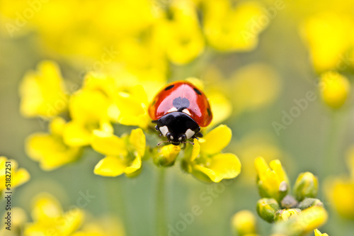 Ladybug On Yellow Flowers