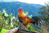 Rooster in morning time