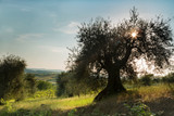 Sunflare in olive tree