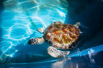 Adult turtle swim in pool of Sea Turtles Conservation Research P