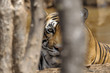 Portait of a Bengal Tiger through trees.