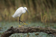 Little Egret walking on a tree stump at a small pond