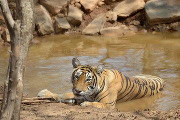 Bengal Tiger in a waterhole.