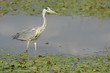 Grey Heron foraging in a pond