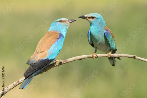 Pair Eurasian Rollers displaying  on  branch