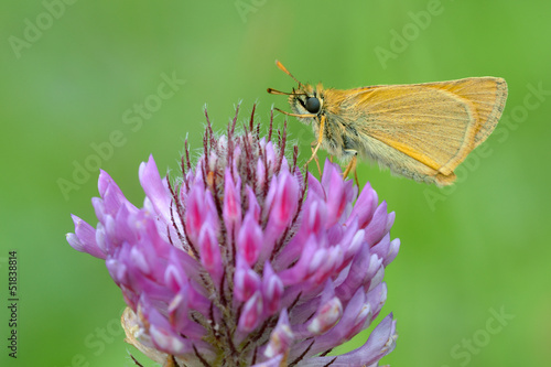 Ochlodes sylvanus, butterfly on a purple flower.