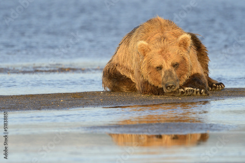 Grizzly Bear (Ursus arctos) resting on beach