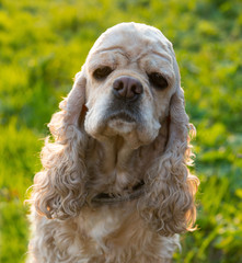 American Cocker Spaniel on blured nature background