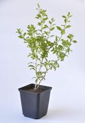 plant de goji en pot