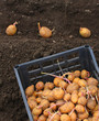 Planting of potatoes.