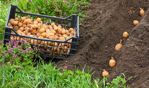Planting of potatoes on a bio garden. Seasonal work.
