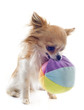 chihuahua and ball