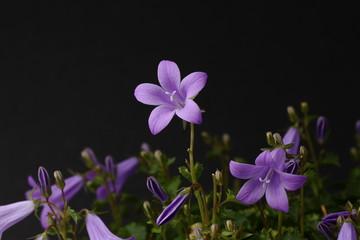 primer plano ramillete violetas