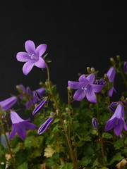 primer plano ramillete violetas con rocio