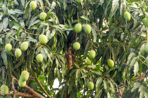 Mango Tree Closeup