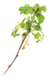 Rote Johannisbeere (Ribes rubrum)