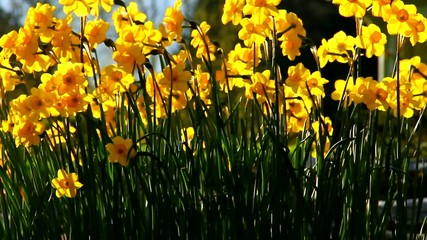 Daffodils in late afternoon spring pleasant sun